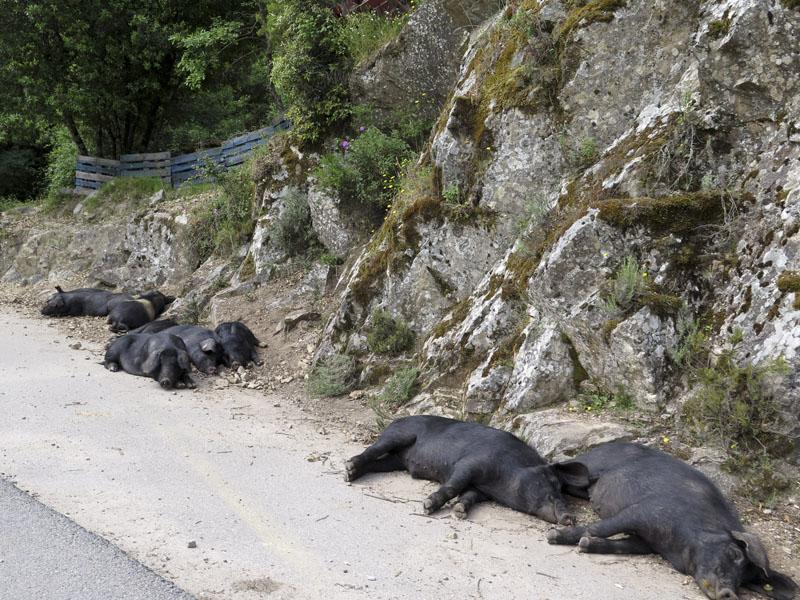 Schweine auf Kosika